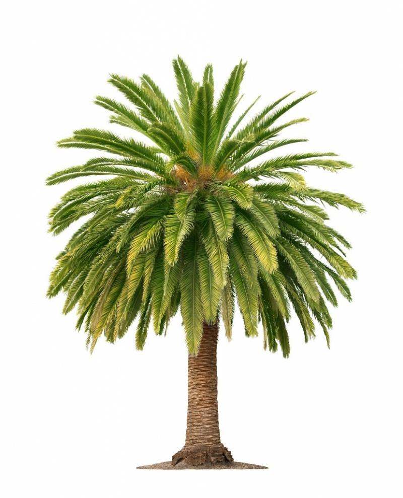 Tailler des palmiers les diff rentes techniques - Photos de toutes sortes de palmiers ...